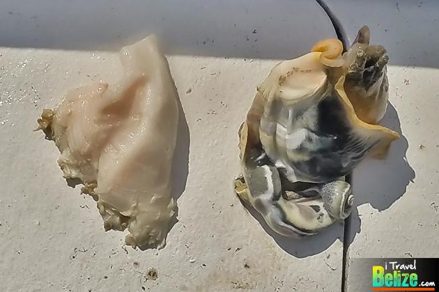 Conch Fishing in San Pedro, Ambergris Caye