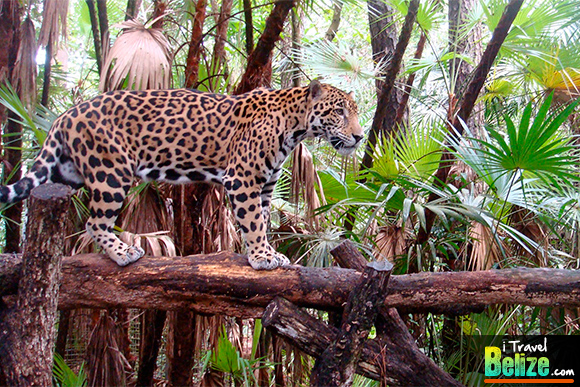 The Belize Zoo, It's a Jungle IN There