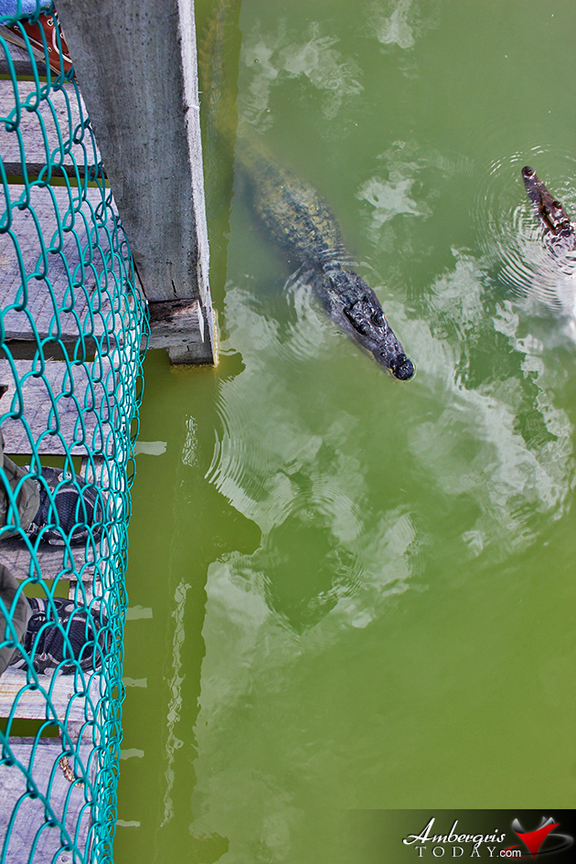 Chukka Introduces Unique Crocodile Encounter and Shrimp Farm Package