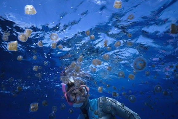 Beware of the Pica Pica! Jellyfish in Abundance During Easter Season in Belize