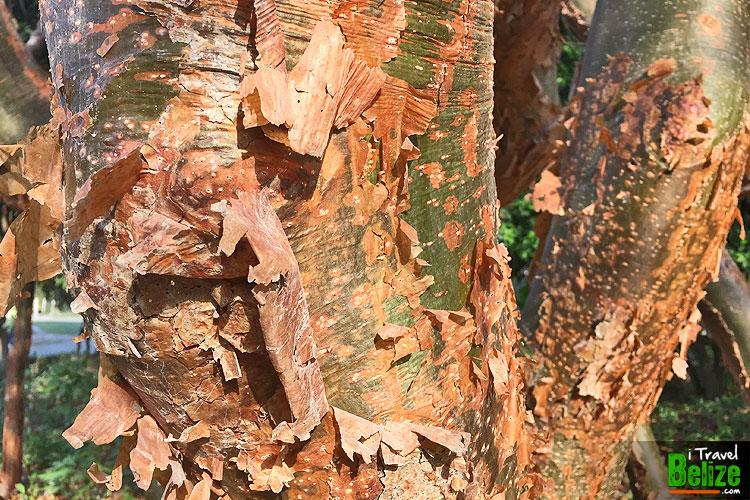 gumbo-limbo-tourist-tree-01