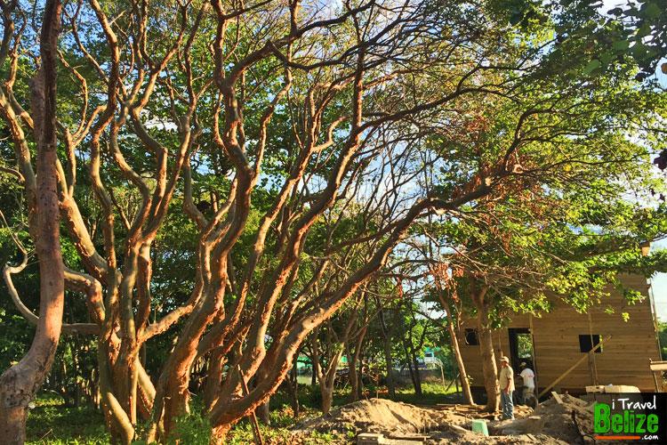 gumbo-limbo-tourist-tree-02