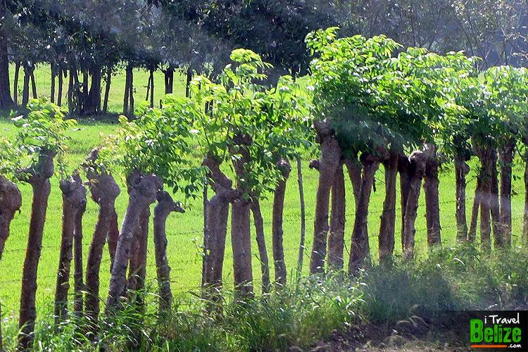 gumbo-limbo-tourist-tree-04