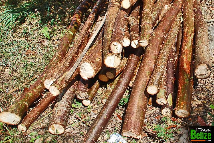 gumbo-limbo-tourist-tree-05